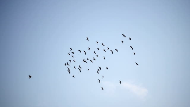 slow motion - flock of birds flying - uccello video stock e b–roll