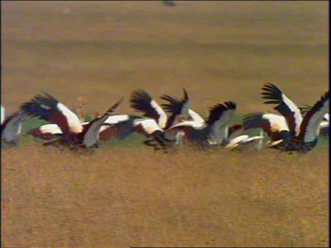 slow motion pan flock of crowned cranes taking off from field / africa - medium group of animals stock videos & royalty-free footage