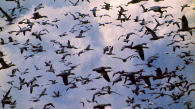 slow motion flock of geese flying in blue skies - anamorphic stock videos & royalty-free footage