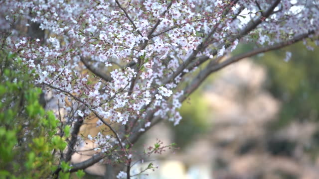 slow motion footage cherry blossom tree or sakura in osaka, japan - pagoda stock videos & royalty-free footage