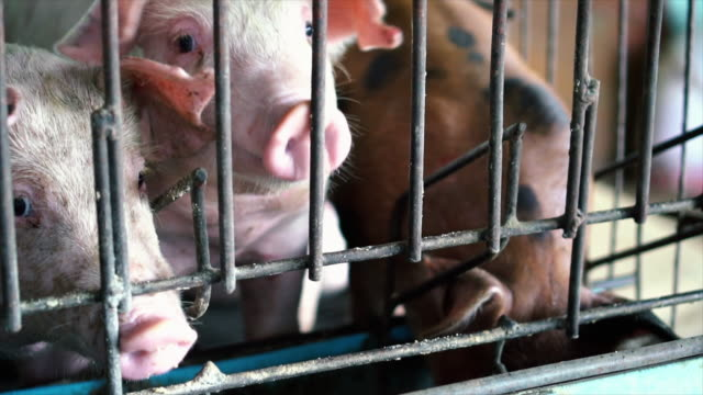 4k slow motion footage close up nose of young pigs in factory pig farm, livestock and domestic animal concept - livestock stock videos & royalty-free footage