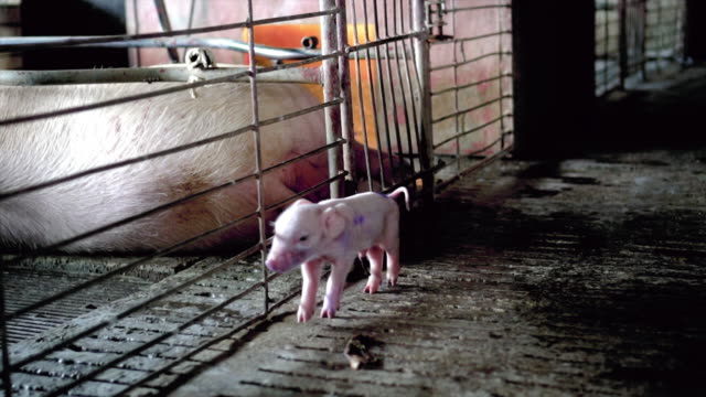 4K Slow motion footage close up of baby pigs with umbilical cord walking in factory pig farm, Livestock and Domestic animal concept