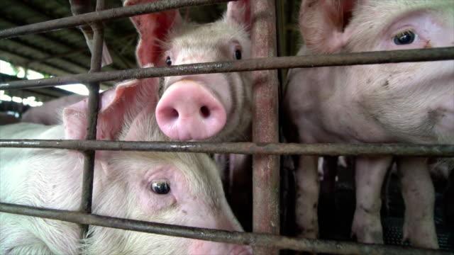 vidéos et rushes de 4k film ralenti près de jeunes porcs dans la ferme porcine d'usine, le bétail et le concept animal domestique - mignon