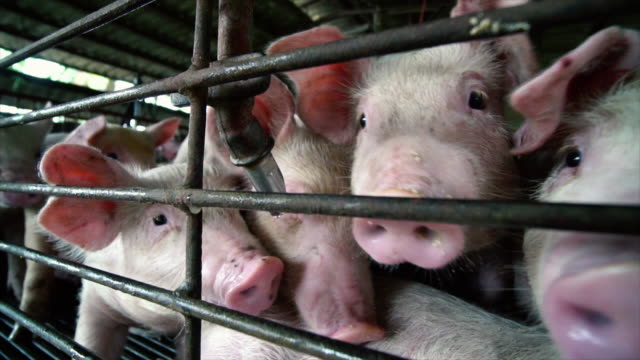 vídeos de stock e filmes b-roll de 4k slow motion footage close up of young pigs in factory pig farm, livestock and domestic animal concept - rancho quinta