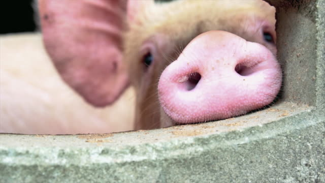 4k slow motion footage closeup nose of young pigs in factory pig farm, livestock and domestic animal concept - piglet stock videos and b-roll footage