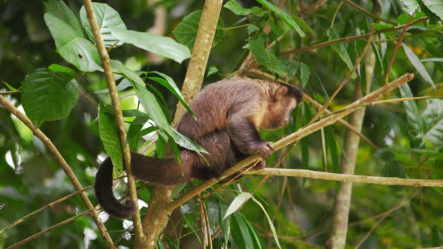 slow motion footage of a capuchin monkey sitting on a tree branch. - 2013 stock videos & royalty-free footage