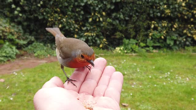 slow motion footage of a european robin hand-feeding on mealworms in an english garden . credit line: patrick fox/visionhaus/getty images. - bird stock videos & royalty-free footage