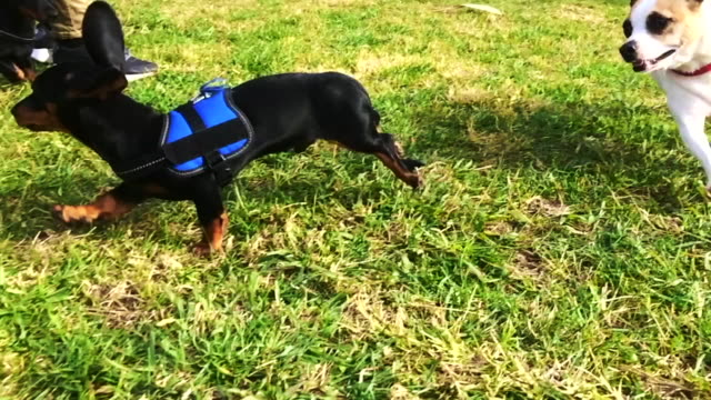 Slow motion footage of a happy Teckels Dachshund puppies running during sunny weekend playing in the first days outside in the city.