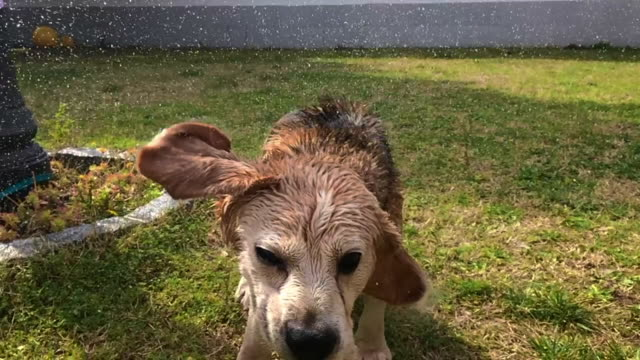 vídeos de stock, filmes e b-roll de slow motion footage of a wet senior beagle dog shaking water drops and splashing during a bath time in the backyard home. - sacudindo