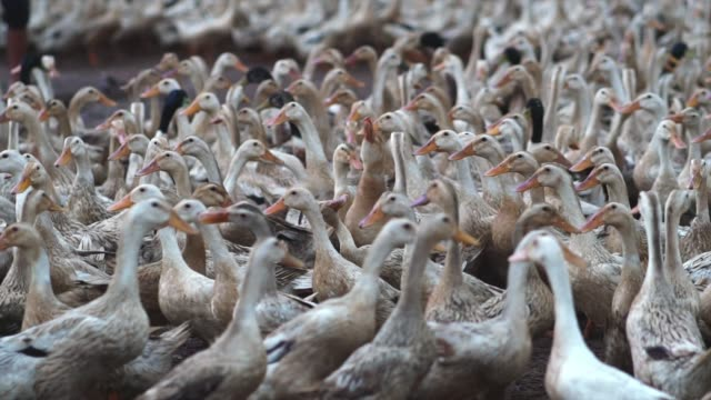 4k slow motion footage of huge flock of ducks walking and moving in farm, behaviour and domestic animal concept - pollo video stock e b–roll