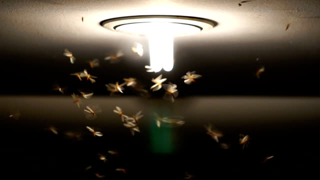 vídeos de stock e filmes b-roll de slow motion footage of mayflies swarming and flying the light, bug life concept - inseto