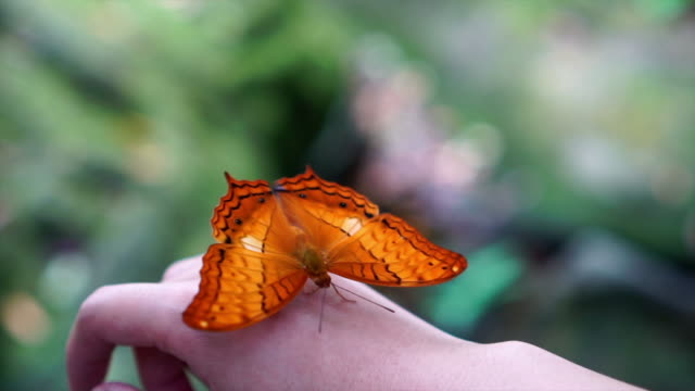 4k slow motion footage of orange butterfly flapping wings on woman's back hand in the forest, animal behavior and natural concept - trust stock videos & royalty-free footage