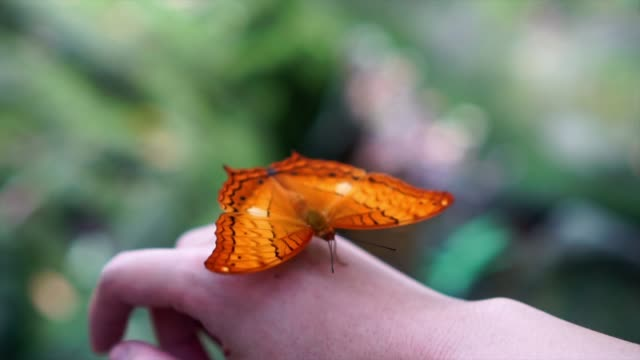 vídeos de stock e filmes b-roll de 4k slow motion footage of orange butterfly flapping wings on woman's back hand in the forest, animal behavior and natural concept - perceção sensorial