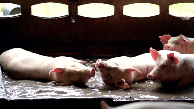 4k slow motion footage of young pigs splashing and playing water together in factory pig farm, livestock and domestic animal concept - pig stock videos & royalty-free footage