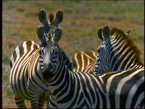 slow motion four zebras look at camera + run away in fear / Africa