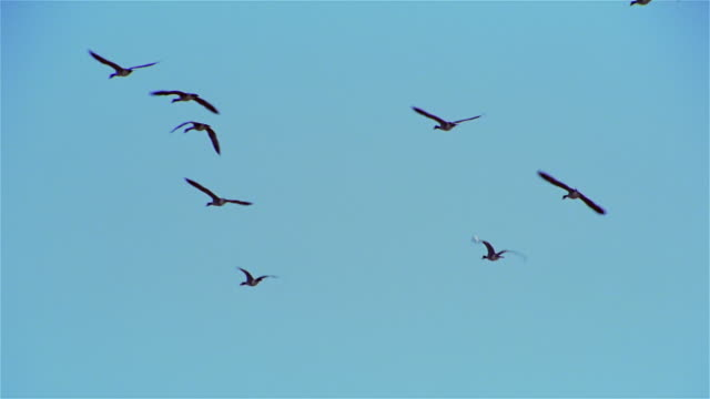 slow motion geese flying in clear sky - formation flying stock videos & royalty-free footage