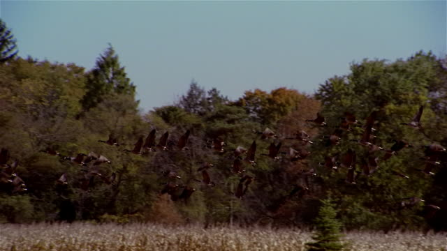 slow motion geese taking off and flying away over trees - formation flying stock videos & royalty-free footage