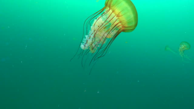 vidéos et rushes de slow motion: glowing jellyfish with long tentacles swimming in green ocean - monterey, california - yellow