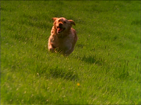 slow motion golden retriever running in grass - golden retriever stock videos and b-roll footage