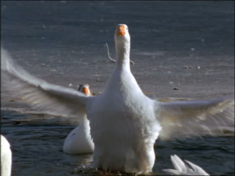 stockvideo's en b-roll-footage met slow motion goose in water surrounded by other birds flapping wings (snow goose?) - dierenvleugel