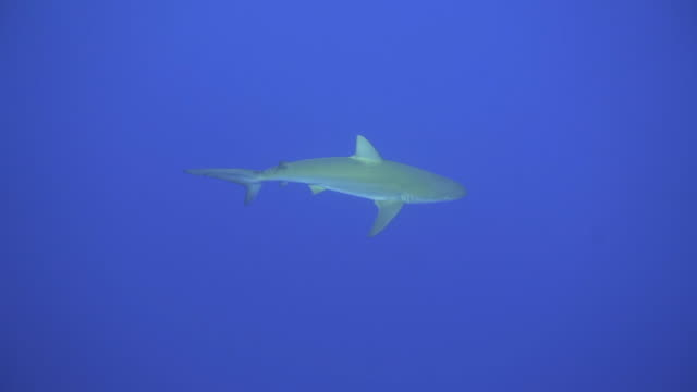 slow motion: gray sharks swimming calmly in vibrant blue ocean water, kauai, hawaii - grey colour stock videos & royalty-free footage