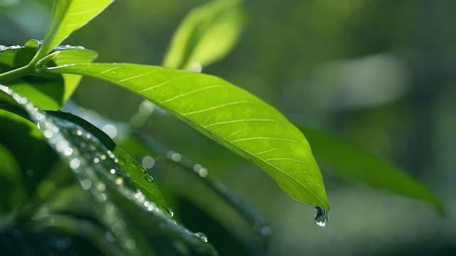 hd スローモーション: 日当たりの良い緑の背景ドロップ水の付いた緑色の葉 - 葉点の映像素材/bロール