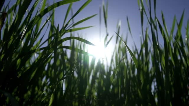 zeitlupe : grüne frühling gras verschieben wind - klammer stock-videos und b-roll-filmmaterial