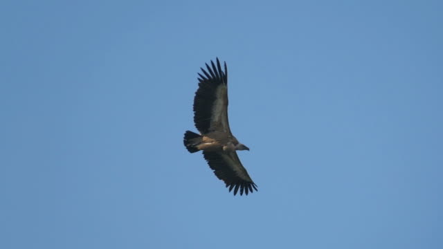 slow motion, griffon vulture (gyps fulvus) in flight, blue sky in background - vulture stock videos & royalty-free footage