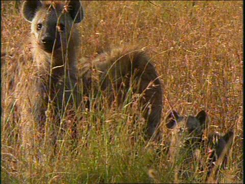 vídeos y material grabado en eventos de stock de slow motion group of adult + baby spotted hyenas walking in grass toward camera / africa - animales de safari