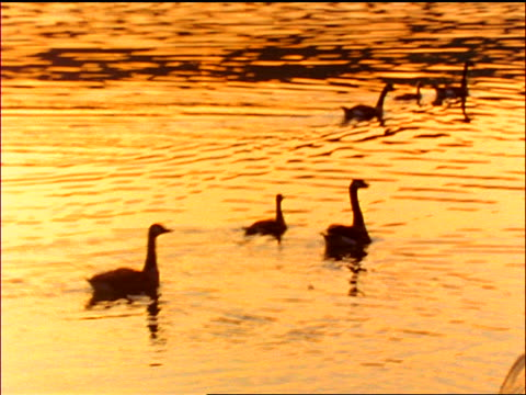 slow motion group of ducks swimming on pond at sunset / North Stanhope, New Jersey