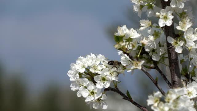vidéos et rushes de slow motion hd vidéo des abeilles sur amandier - selimaksan