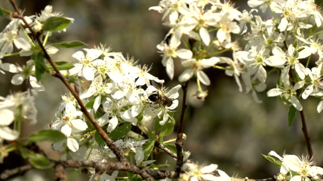 Slow Motion HD video Of Bees On Almond Tree