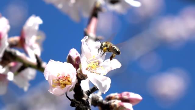 slow-motion hd-video der honigbiene auf mandel blume über blauen himmel - mandel stock-videos und b-roll-filmmaterial