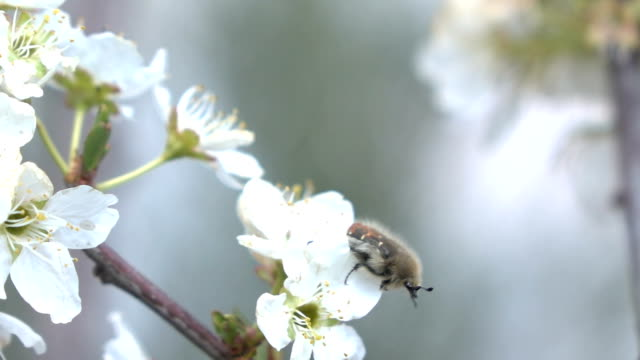 slow motion hd video of insect on almond tree - hovering stock videos & royalty-free footage
