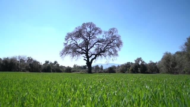 slow motion hd video of oak tree in wind - selimaksan video stock e b–roll