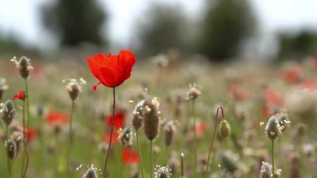 Slow Motion HD Video Of Red Poppy Flower