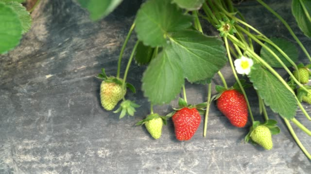 Slow Motion HD Video Of Strawberry Plant In Garden