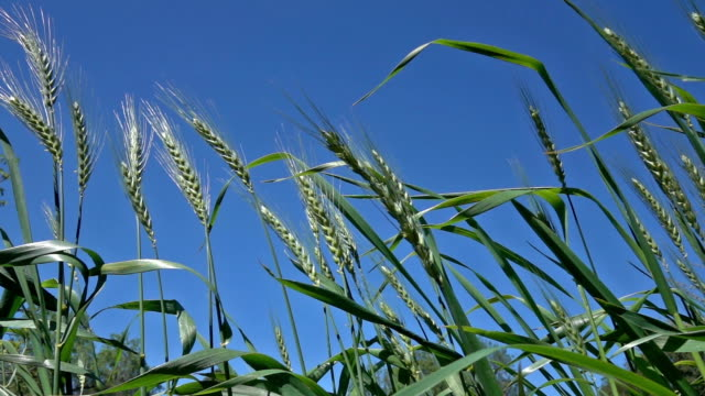 Slow Motion HD Video Of Wheat Heads On Blue Sky