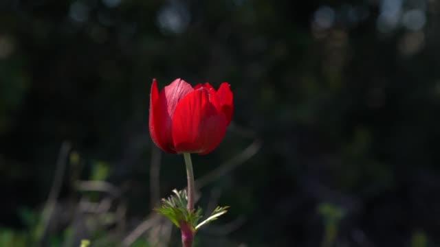 vídeos de stock e filmes b-roll de slow motion hd video of windflower - selimaksan