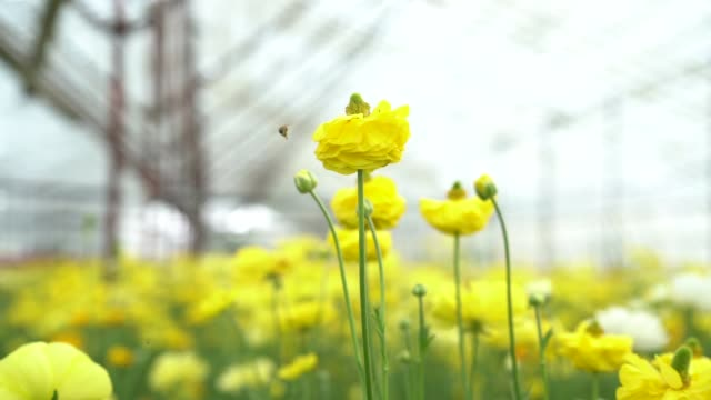 stockvideo's en b-roll-footage met slow motion hd video van gele ranunculus bloemen - ranonkel