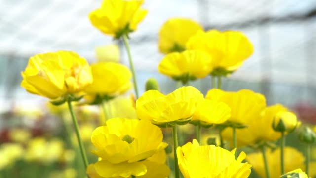 slow motion hd video of yellow ranunculus flowers - ranunculus stock videos & royalty-free footage