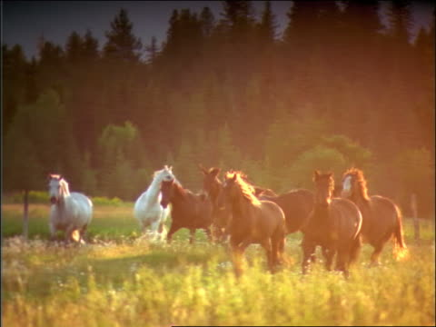 slow motion herd of horses running in meadow / Montana