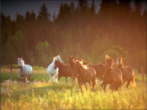 vídeos de stock, filmes e b-roll de slow motion herd of horses running in meadow / montana - sparklondon