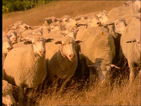 slow motion herd of sheep looking at camera and eating - herbivorous stock videos & royalty-free footage
