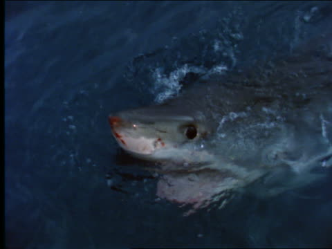 slow motion high angle close up of blood on nose of great white shark - 2001 stock videos and b-roll footage