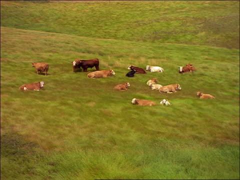 slow motion high angle group of cows lying in green grass in field / saskatchewan - pflanzenfressend stock-videos und b-roll-filmmaterial