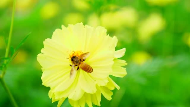 vídeos de stock, filmes e b-roll de câmera lenta: abelha coletando pólen na flor amarela flor - abelha obreira