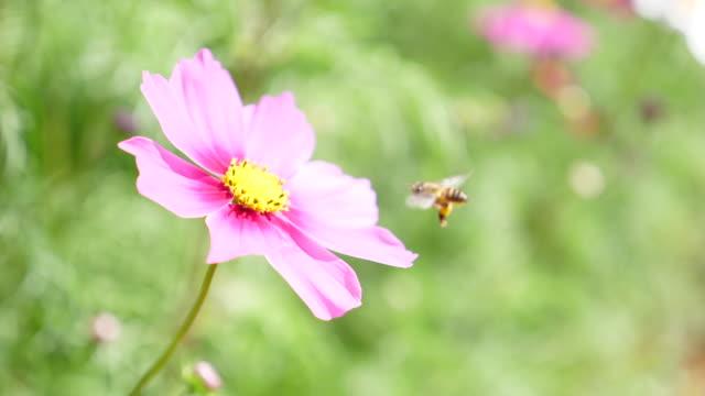 スローモーション:ミツバチの飛び、ピンクの花の花粉を集める - 花粉点の映像素材/bロール