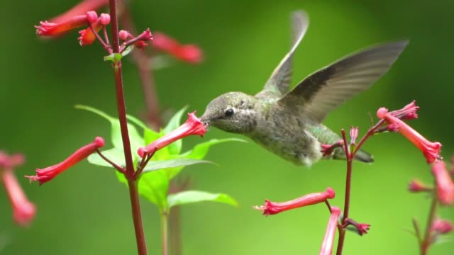 slow motion hummingbirds feeding in golden gate park - san francisco - hungry stock videos & royalty-free footage