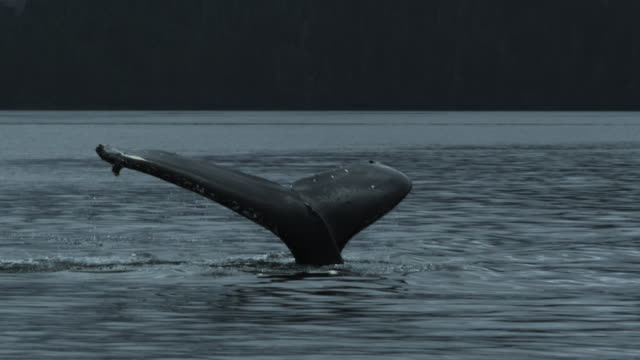 slow motion humpback whale breaches water, fluke, alaska, 2011 - animals breaching stock videos & royalty-free footage